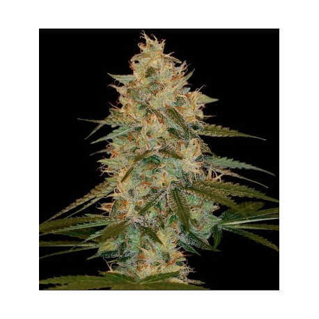 Chocolope Kush - DNA Genetics femminizzati DNA Genetics €40,00
