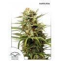 AutoWhite Widow - Dutch Passion femminizzati