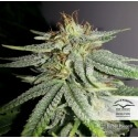 Durban Poison - Dutch Passion femminizzati