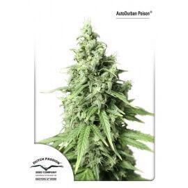 AutoDurban Poison - Dutch Passion femminizzati