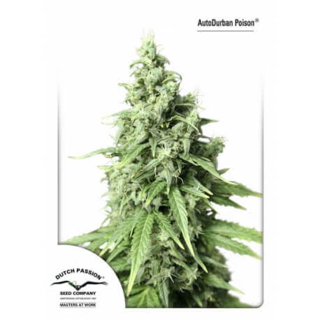 AutoDurban Poison - Dutch Passion femminizzati Dutch Passion €31,00