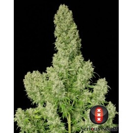 White Russian - Serious Seeds femminizzati
