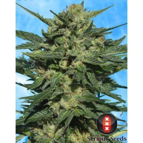 White Russian 1 Auto - Serious Seeds femminizzati Serious Seeds €60,00