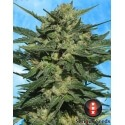 White Russian 1 Auto - Serious Seeds femminizzati
