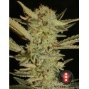 Bubble Gum - Serious Seeds femminizzati