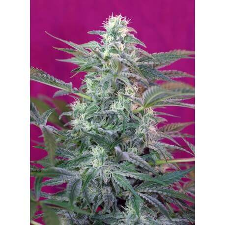 Big Foot - Sweet Seeds femminizzati Sweet Seeds €24,90