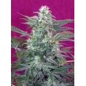 Big Foot - Sweet Seeds femminizzati