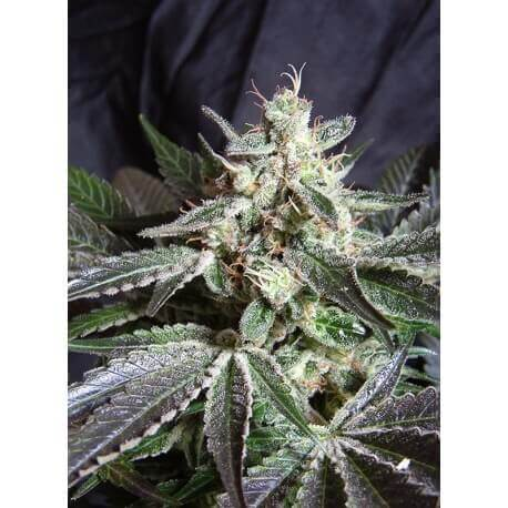 Black Jack - Sweet Seeds femminizzati Sweet Seeds €19,50