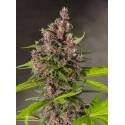 Bloody Skunk Auto - Sweet Seeds femminizzati