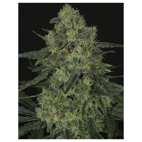Criminal + - Ripper Seeds femminizzati Ripper Seeds €6,00