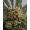 Grapegum - Ripper Seeds femminizzati