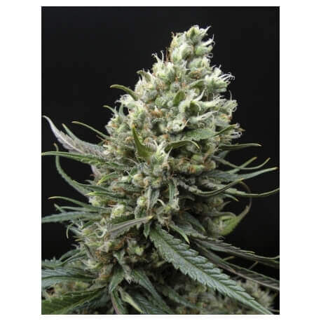 Ripper Haze - Ripper Seeds femminizzati Ripper Seeds €24,00