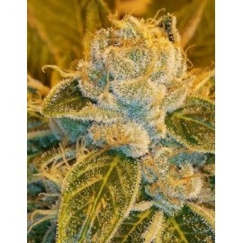 Sour Ripper - Ripper Seeds femminizzati Ripper Seeds €21,00