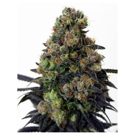 Acid Dough - Ripper Seeds femminizzati Ripper Seeds €21,00