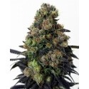Acid Dough - Ripper Seeds femminizzati