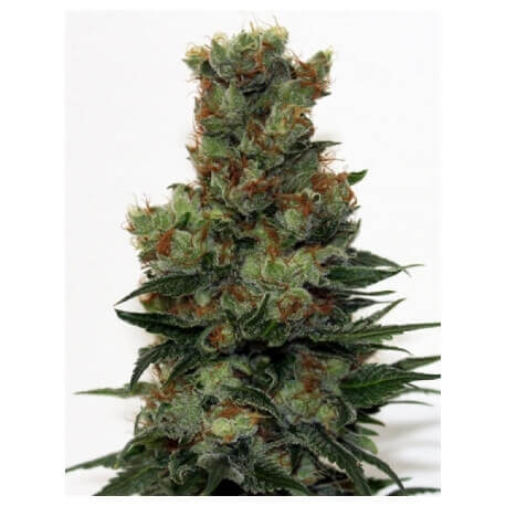 Ripper Badazz - Ripper Seeds femminizzati Ripper Seeds €27,00