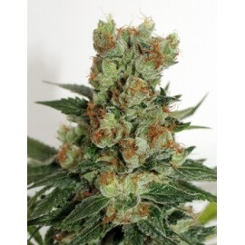 Fuel OG - Ripper Seeds femminizzati Ripper Seeds €21,00