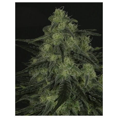 Black Valley - Ripper Seeds femminizzati Ripper Seeds €18,00