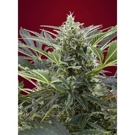 Cream 47 - Sweet Seeds femminizzati Sweet Seeds €28,50