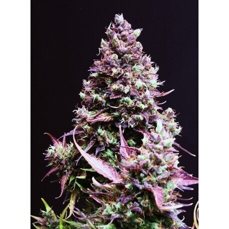 Cream Caramel Auto - Sweet Seeds femminizzati Sweet Seeds €20,00