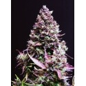 Cream Caramel Auto - Sweet Seeds femminizzati