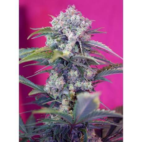 Cream Mandarine Auto - Sweet Seeds femminizzati Sweet Seeds €23,90
