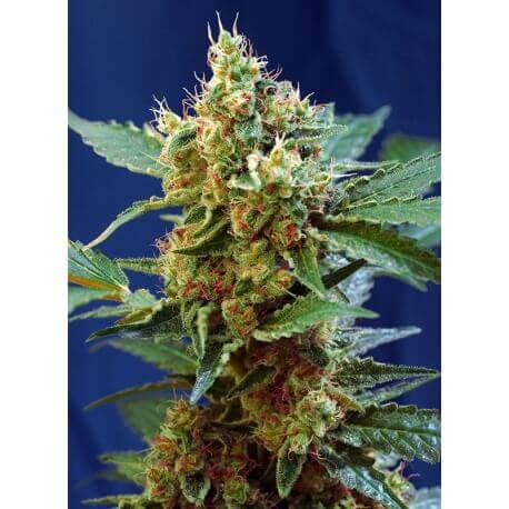 Cream Mandarine XL Auto - Sweet Seeds femminizzati Sweet Seeds €23,90