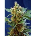 Cream Mandarine XL Auto - Sweet Seeds femminizzati