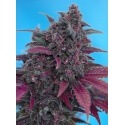 Dark Devil Auto - Sweet Seeds femminizzati