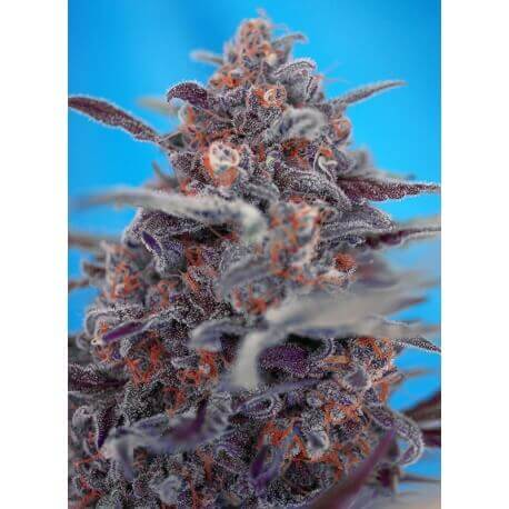 Devil Cream Auto - Sweet Seeds femminizzati Sweet Seeds €22,90