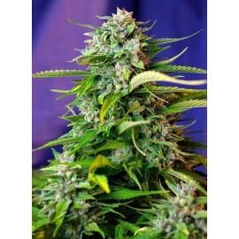 Jack 47 Auto - Sweet Seeds femminizzati