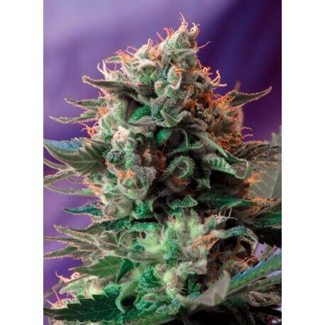Jack 47 - Sweet Seeds femminizzati Sweet Seeds €33,00