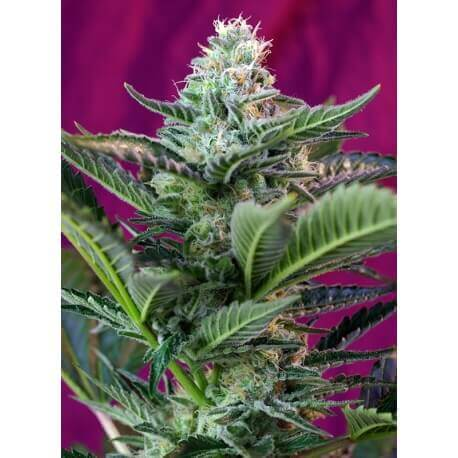 Mohan Ram Auto - Sweet Seeds femminizzati Sweet Seeds €20,00