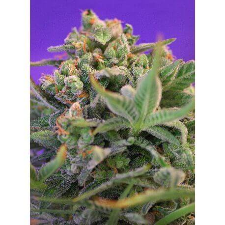 Sweet Cheese - Sweet Seeds femminizzati Sweet Seeds €14,90