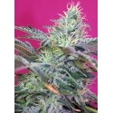 Sweet Cheese Auto - Sweet Seeds femminizzati