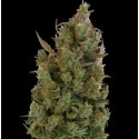 Blue Cheese - Barney's Farm femminizzati