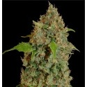Chronic Thunder - Barney's Farm femminizzati