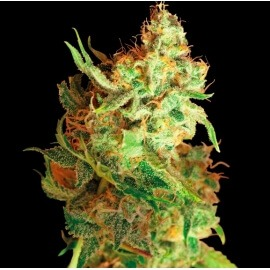 Red Dragon - Barney's Farm femminizzati