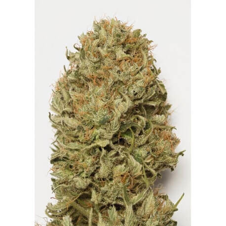 Blue Dream AUTO - Humboldt Seed Organization femminizzati Humboldt Seed Organization €27,00