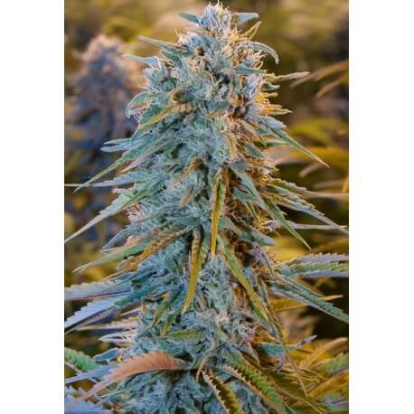 Blue Dream - Humboldt Seed Organization femminizzati Humboldt Seed Organization €27,00