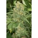 Green Crack - Humboldt Seed Organization femminizzati