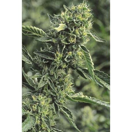 OG Kush - Humboldt Seed Organization femminizzati Humboldt Seed Organization €24,00