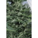 Sour Diesel 2 - Humboldt Seed Organization femminizzati