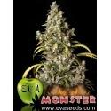 Monster - Eva Seeds femminizzati