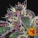 Ayahuasca Purple - Barney's Farm femminizzati