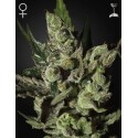 Exodus Cheese - GreenHouse Seeds femminizzati