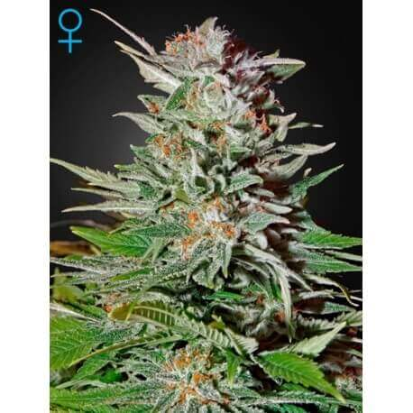 Super Lemon Haze Auto - GreenHouse Seeds femminizzati GreenHouse Seeds €42,00