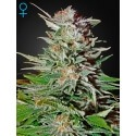 Super Lemon Haze Auto - GreenHouse Seeds femminizzati
