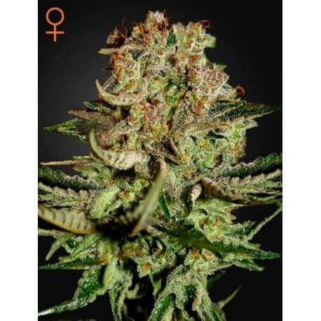 Super Bud - GreenHouse Seeds femminizzati GreenHouse Seeds €25,00