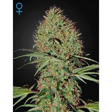 Super Bud Auto - GreenHouse Seeds femminizzati GreenHouse Seeds €25,00